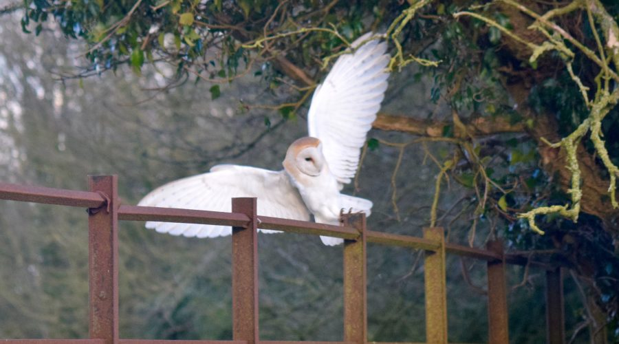 A Barn Owl shows off it's wings