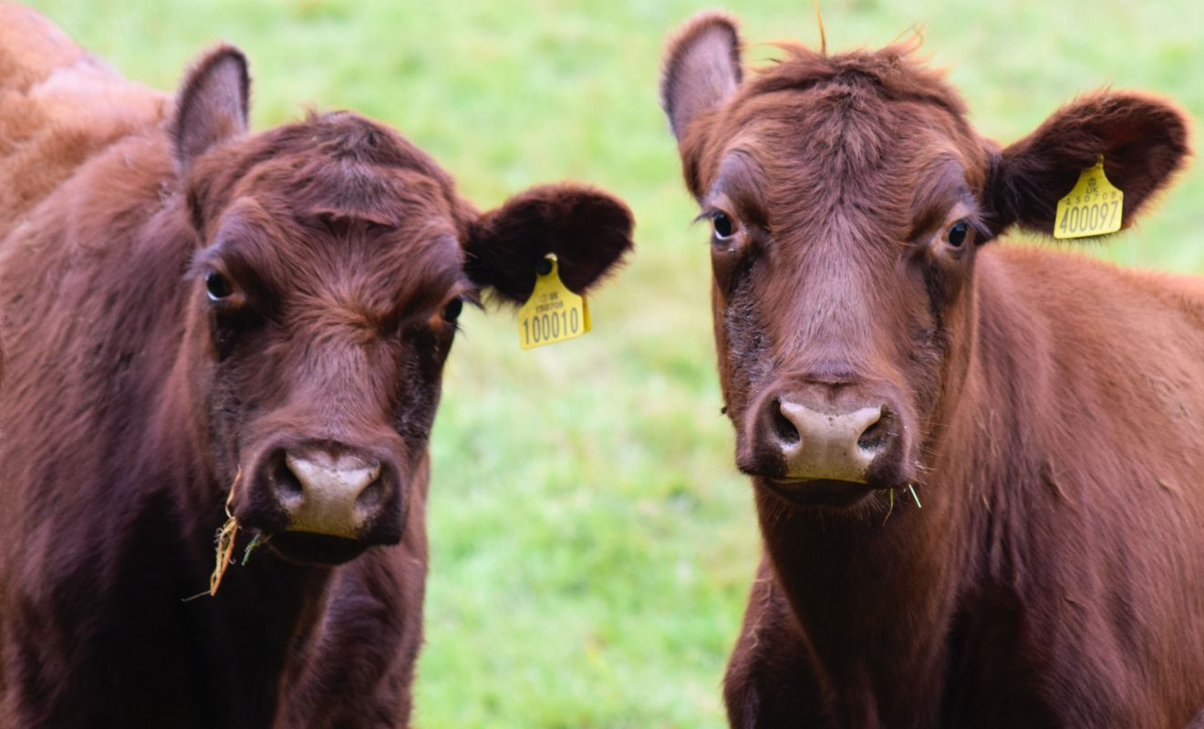 Two Lincoln Red Cattle in the Lincolnshire Wolds
