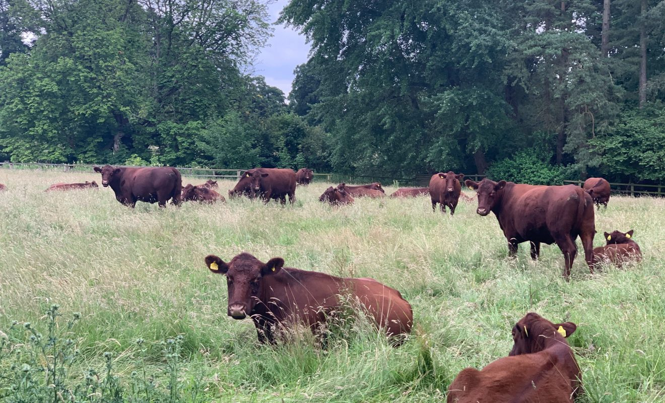 Lincoln Red Cattle resting at South Ormsby Estate