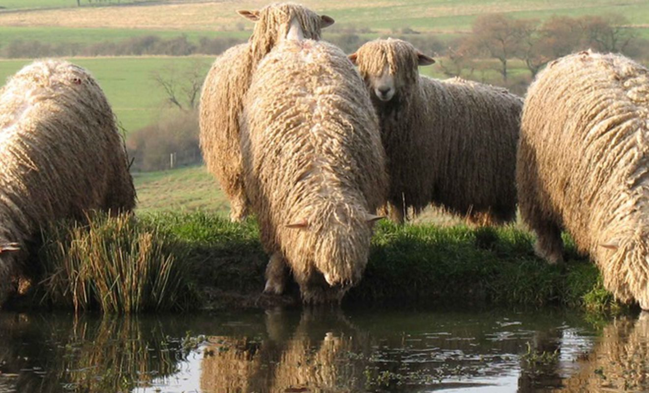 Lincoln Longwools drinking water from a pond