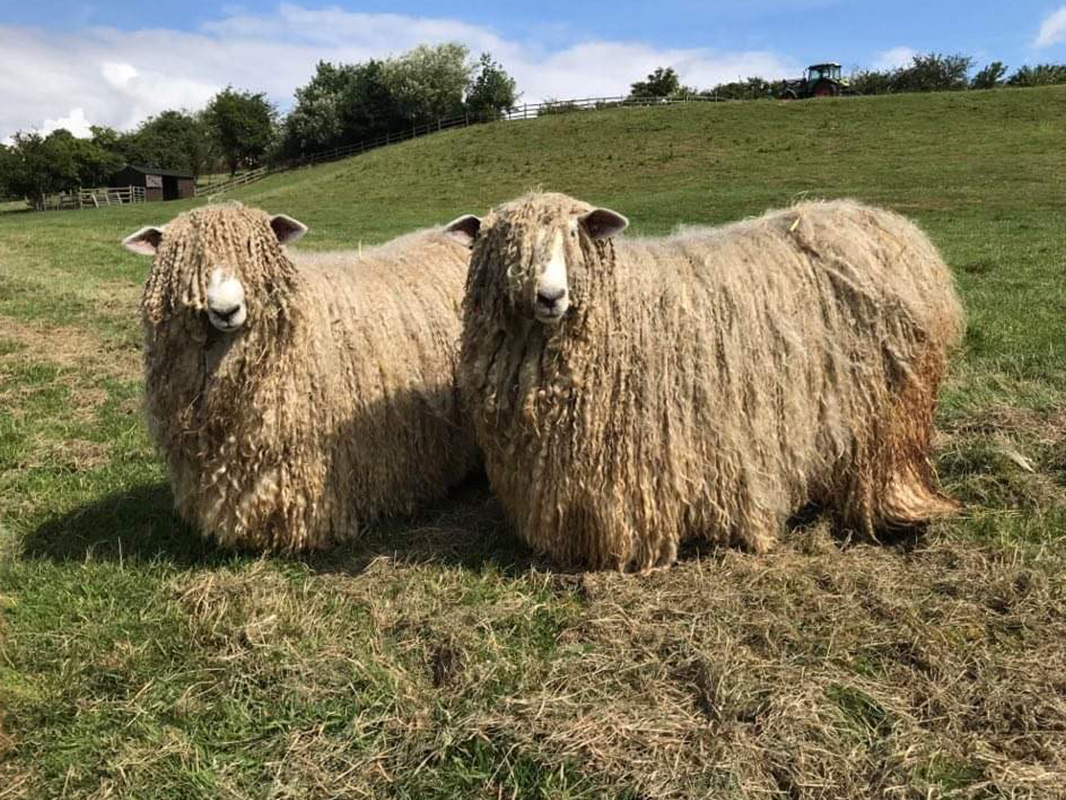 Two Lincoln Longwools with impressive hairstyles