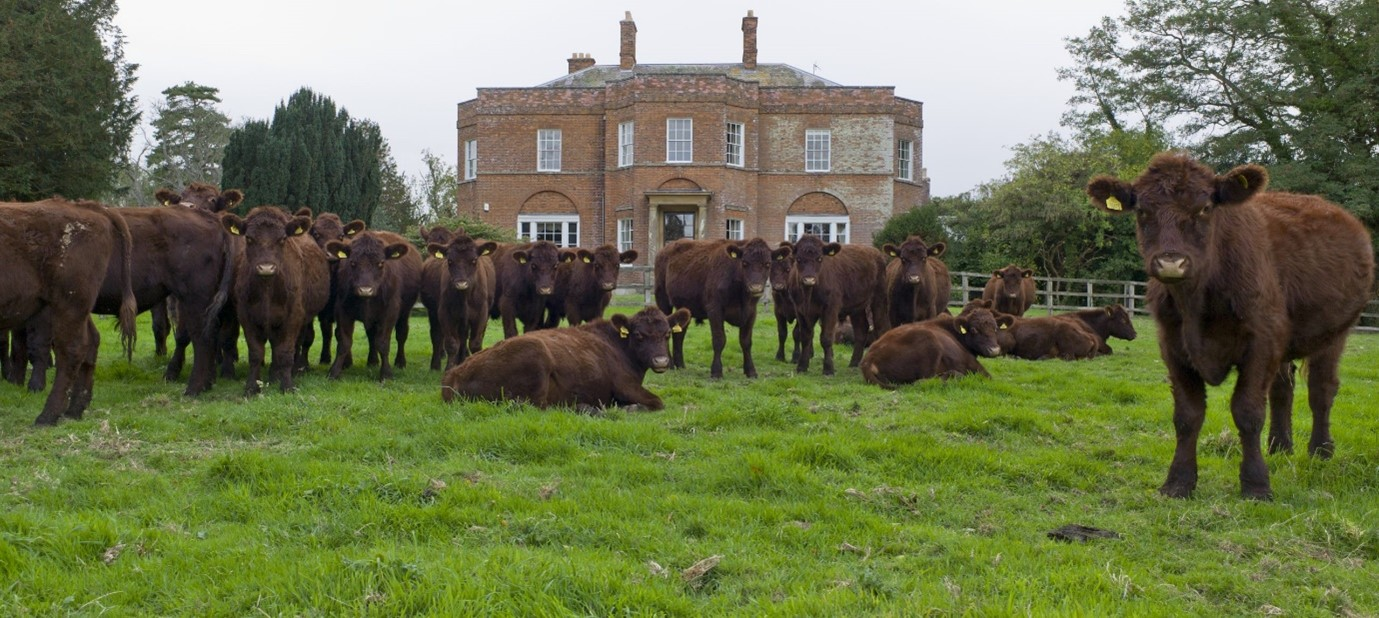 Our herd graze across 500 acres of land at South Ormsby Estate