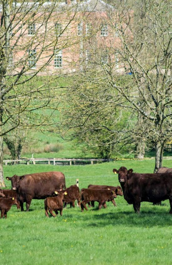 The Lincoln Red Herd grazing at the Estate