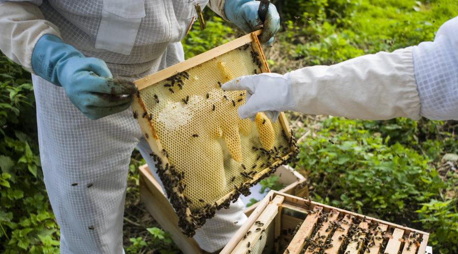 beekeeper holding beehive frame