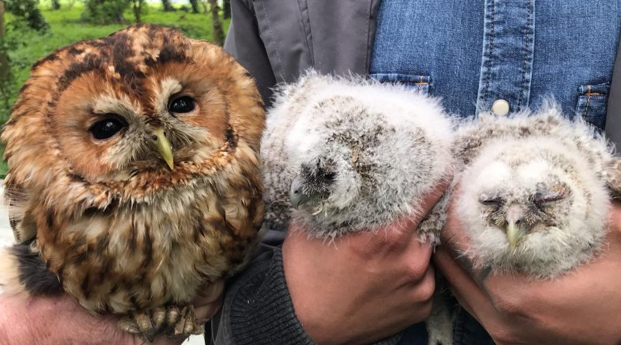 Tawny Owl and Tawny Owl Chicks at South Ormsby Estate