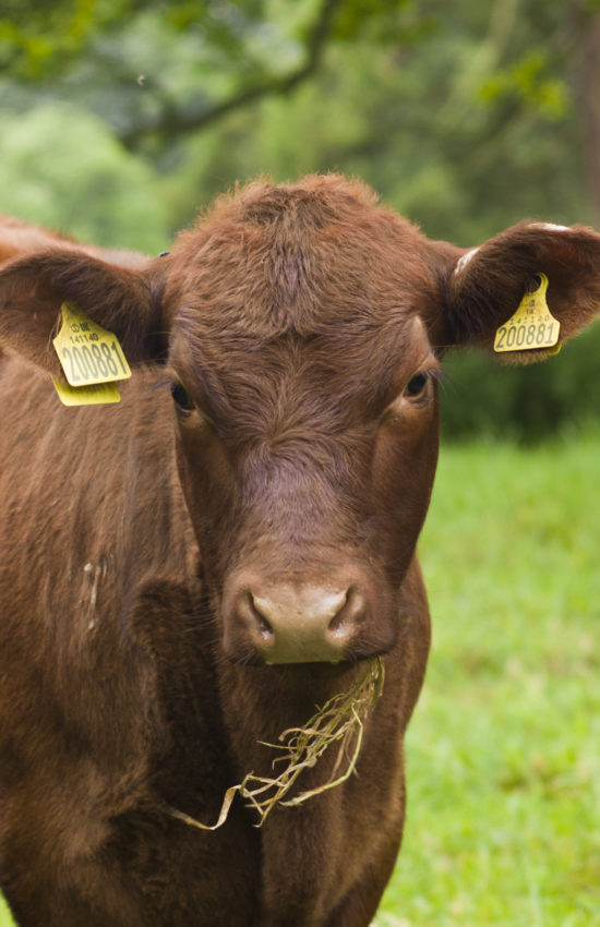 portrait of Lincoln Red Cattle