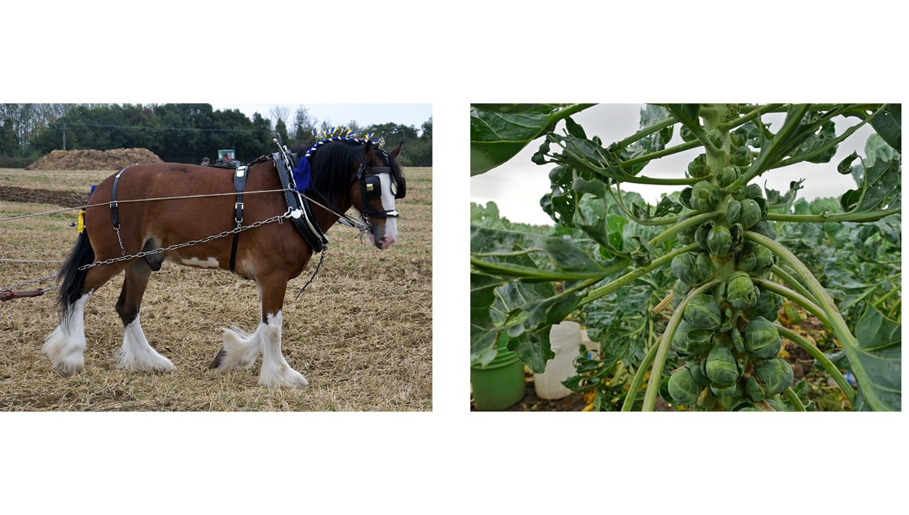 shire horse & sprouts