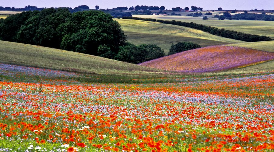 Lincolnshire field filled with flowers