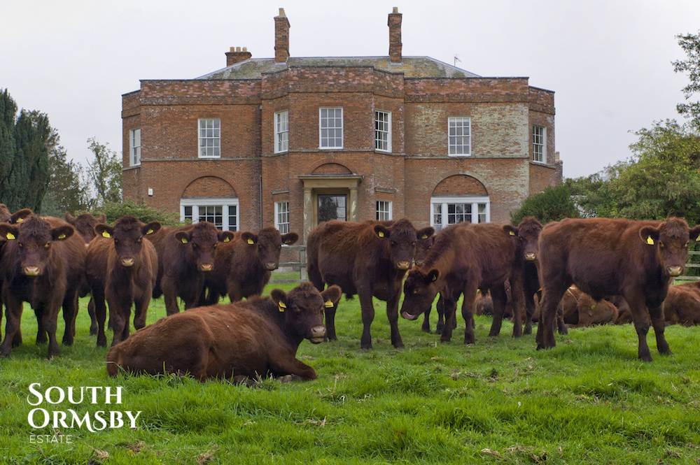 The Lincoln Red herd outside of South Ormsby