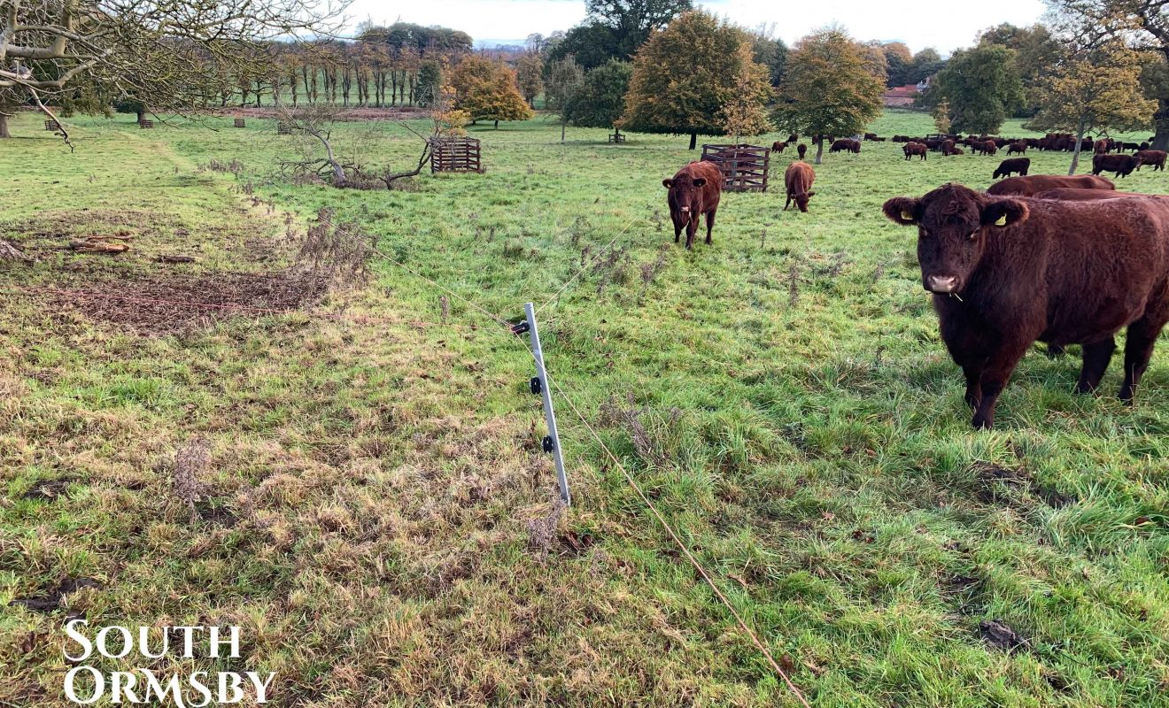 Lincoln Red Cattle grazing in a field